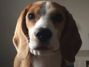 how expensive is beagle food?