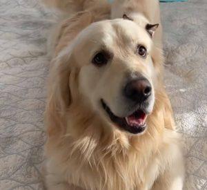 best affordable retriever dog food