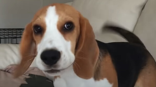 whate can i buy affordable beagle food?