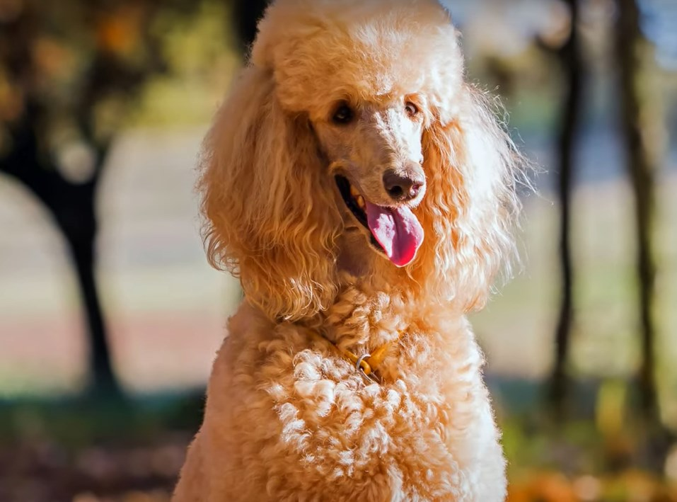 what can poodles eat?