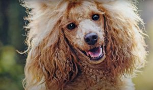 how much is affordable food for poodles